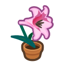 Pink-Lily Plant