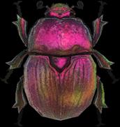 Artwork of Earth-Boring Dung Beetle