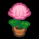 Pink-Mum Plant