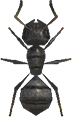 Ant NH.png