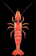 Sweet Shrimp NH.png