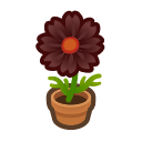 Black-Cosmos Plant