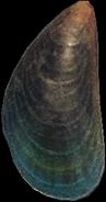 Artwork of Mussel