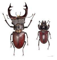 Stag Beetle Photo.jpg