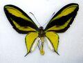 Cairns Birdwing Real.jpg