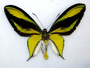 Cairns Birdwing Real.jpg