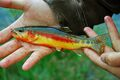 Golden Trout Real.jpg