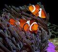 ClownfishWithSeaAnemone.jpg