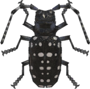 Citrus Long-Horned Beetle NH.png