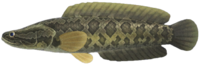 Giant Snakehead NH.png