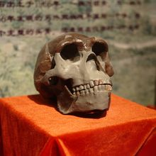 A replica of a Peking Man skull on a pedestal. The brow ridge is quite bold and the profile is elongated.