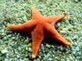 Sea Star Real.jpg
