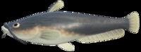 Catfish NH.png
