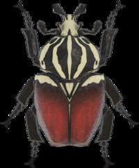 Artwork of Goliath Beetle