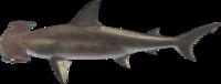 Hammerhead Shark NH.png