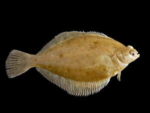 Dab Animal Crossing Wiki Nookipedia Olive flounder are the exception. dab animal crossing wiki nookipedia