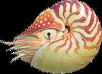 Chambered Nautilus NH.png