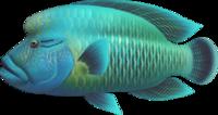 Napoleonfish NH.png