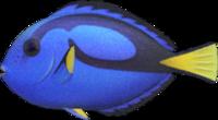 Surgeonfish NH.png