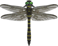 Banded Dragonfly NH.png