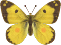 Artwork of Yellow Butterfly