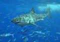 Great White Shark Real.jpg
