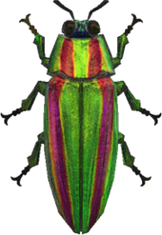 Jewel Beetle NH.png