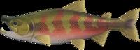 Artwork of Salmon