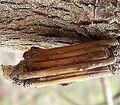Bagworm Case.jpg