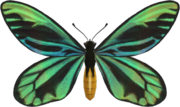 Queen Alexandra's Birdwing NH.png