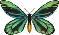 Queen Alexandra's Birdwing NH.png