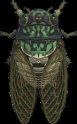 Artwork of Robust Cicada