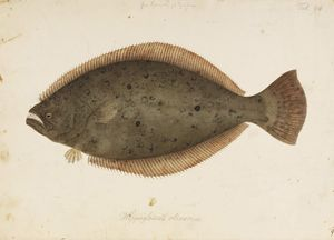 Olive Flounder Animal Crossing Wiki Nookipedia We are ilchulbong, the fishery union that produces and exports eco olive flounders. olive flounder animal crossing wiki