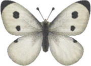 Common Butterfly NH.png