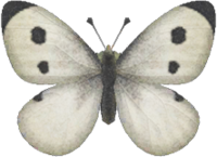 Artwork of Common Butterfly