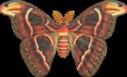 Atlas Moth NH.png