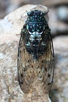 Robust Cicada Real.jpg