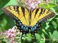 Eastern Tiger Swallowtail Photo.jpg