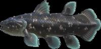 Coelacanth NH.png