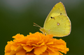 Real Yellow Butterfly.png