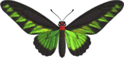 Rajah Brooke's Birdwing NH.png