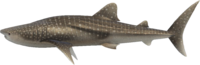 Whale Shark NH.png