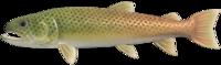 Stringfish NH.png