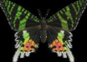 Madagascan Sunset Moth NH.png