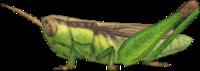 Artwork of Rice Grasshopper