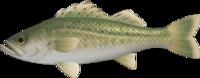 Artwork of Sea Bass
