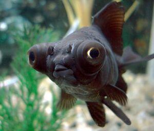 RealPopeyedGoldfish.jpg