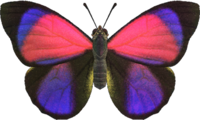 Agrias Butterfly NH.png