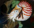 Chambered Nautilus Real.jpg