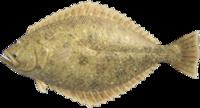 Olive Flounder NH.png